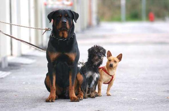 Il Corrosivo Come Cani Al Guinzaglio Corto I Due Punti